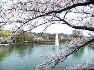 池田市 水月公園 桜