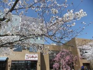 池田市民文化会館 桜